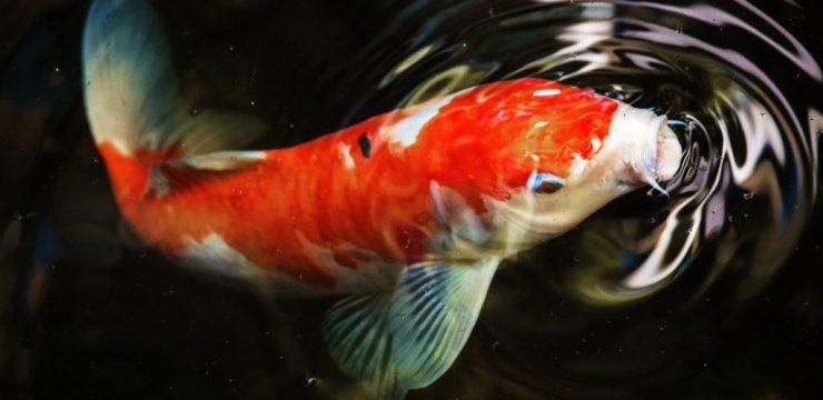 Fungsi Simalakama Tembaga bagi Ikan